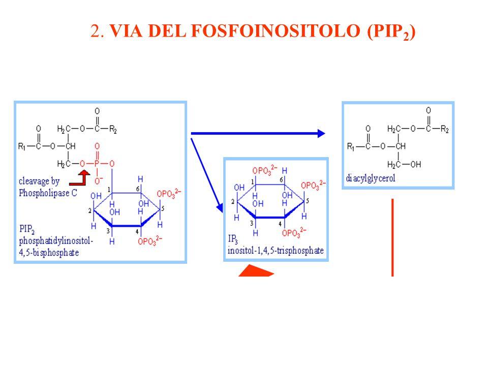 2. VIA DEL FOSFOINOSITOLO (PIP2)
