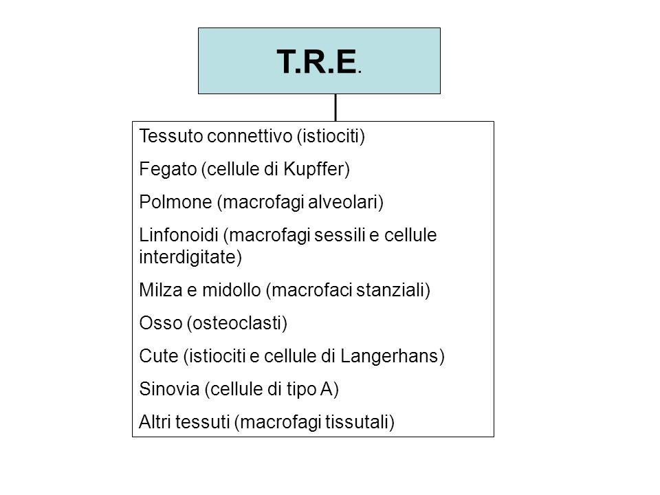 T.R.E. Tessuto connettivo (istiociti) Fegato (cellule di Kupffer)
