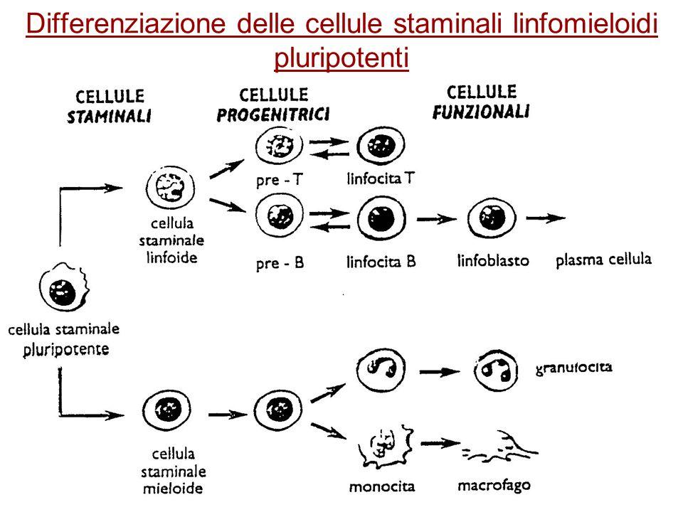 Differenziazione delle cellule staminali linfomieloidi pluripotenti