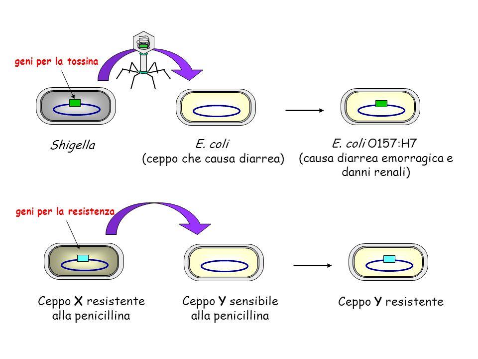 (ceppo che causa diarrea) E. coli O157:H7 (causa diarrea emorragica e