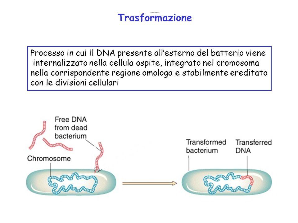 Trasformazione Processo in cui il DNA presente all'esterno del batterio viene. internalizzato nella cellula ospite, integrato nel cromosoma.