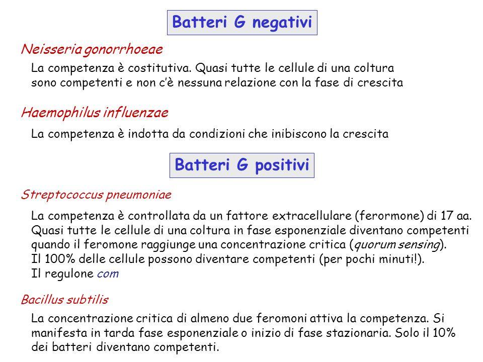 Batteri G negativi Batteri G positivi Neisseria gonorrhoeae