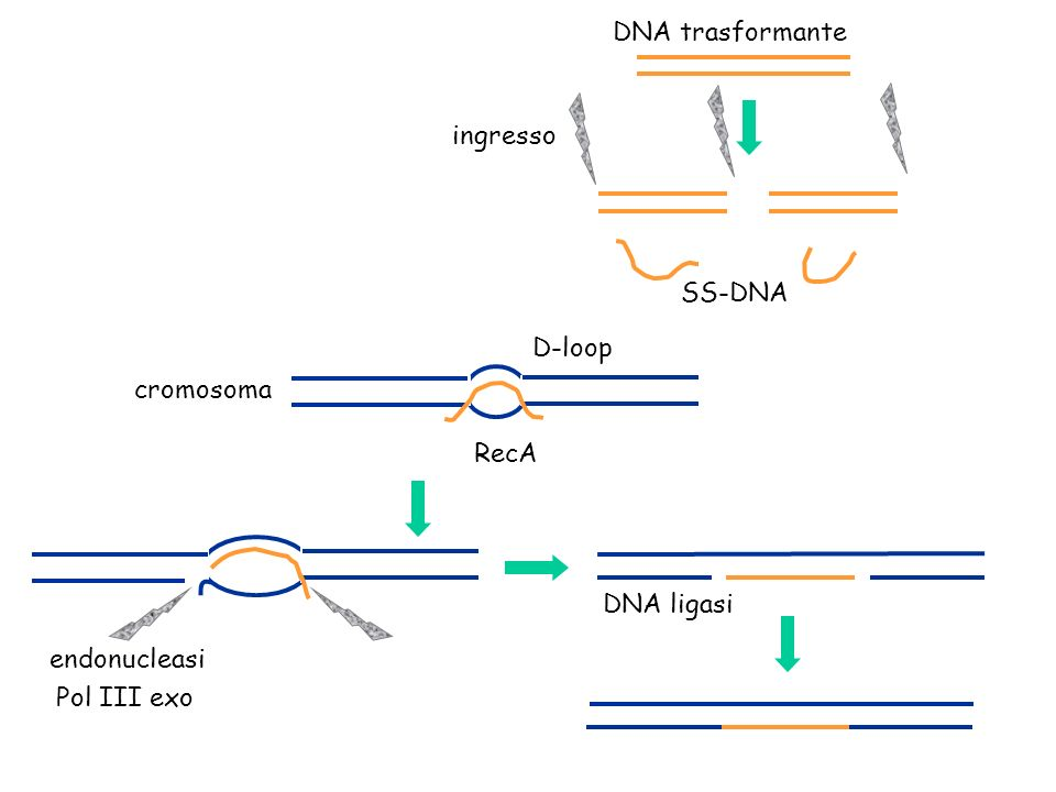DNA trasformante ingresso SS-DNA D-loop cromosoma RecA DNA ligasi endonucleasi Pol III exo