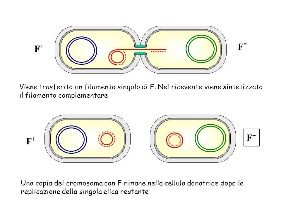 F+ F- Viene trasferito un filamento singolo di F. Nel ricevente viene sintetizzato il filamento complementare.