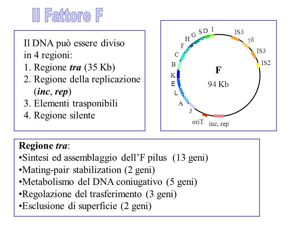 Il DNA può essere diviso in 4 regioni: 1. Regione tra (35 Kb)