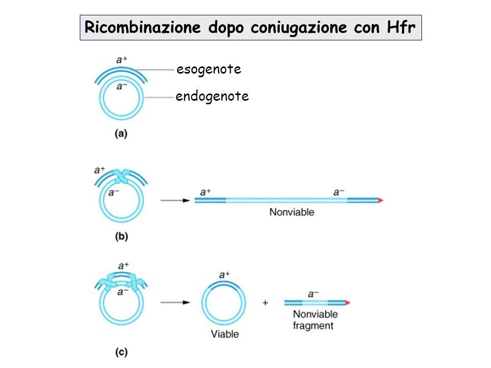Ricombinazione dopo coniugazione con Hfr