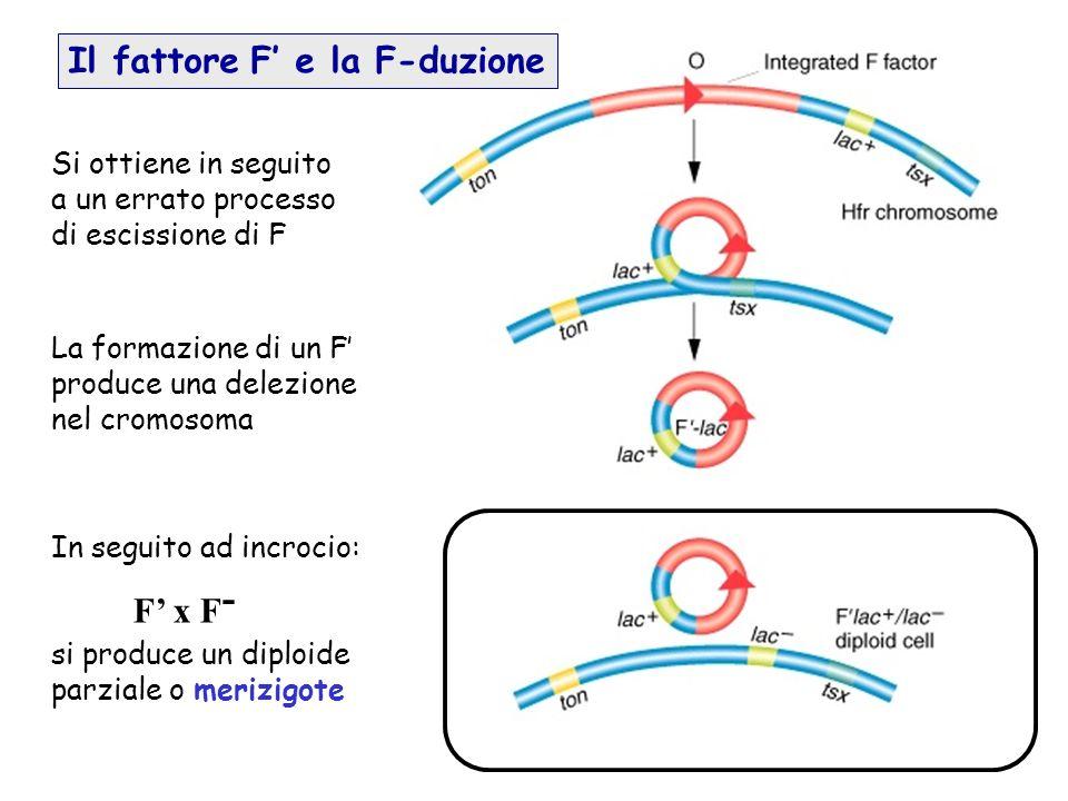Il fattore F' e la F-duzione