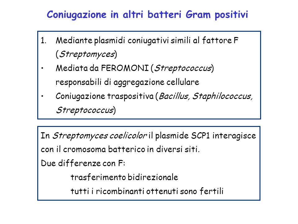 Coniugazione in altri batteri Gram positivi