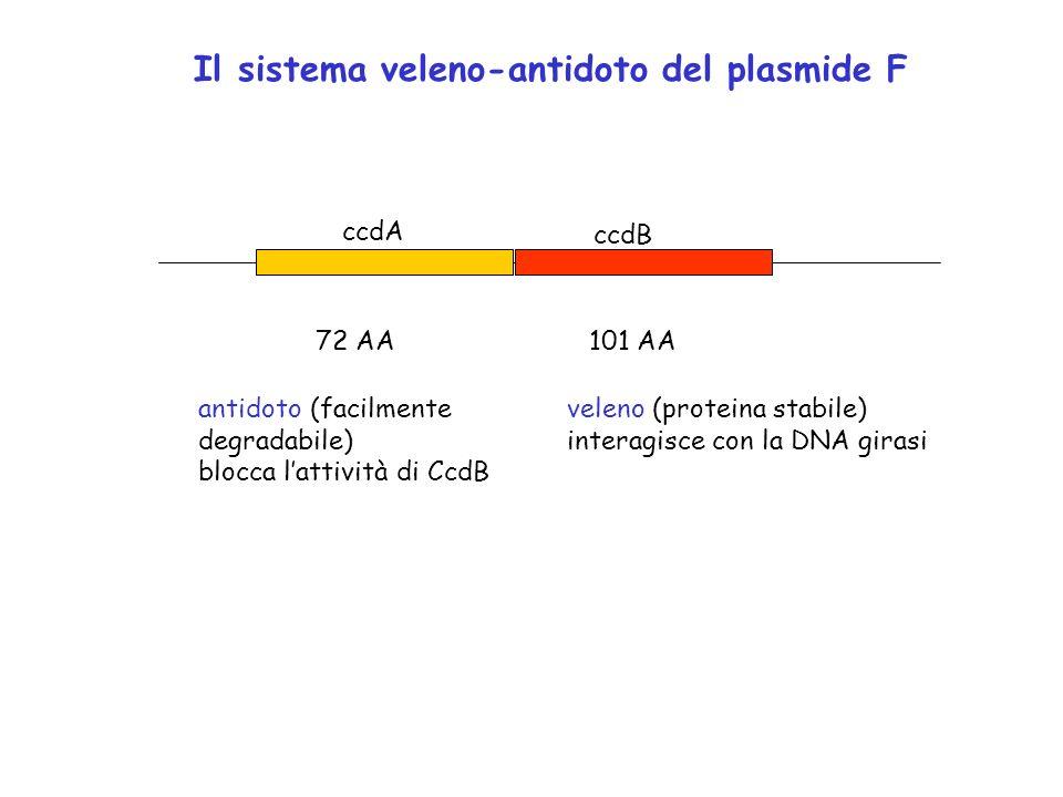 Il sistema veleno-antidoto del plasmide F
