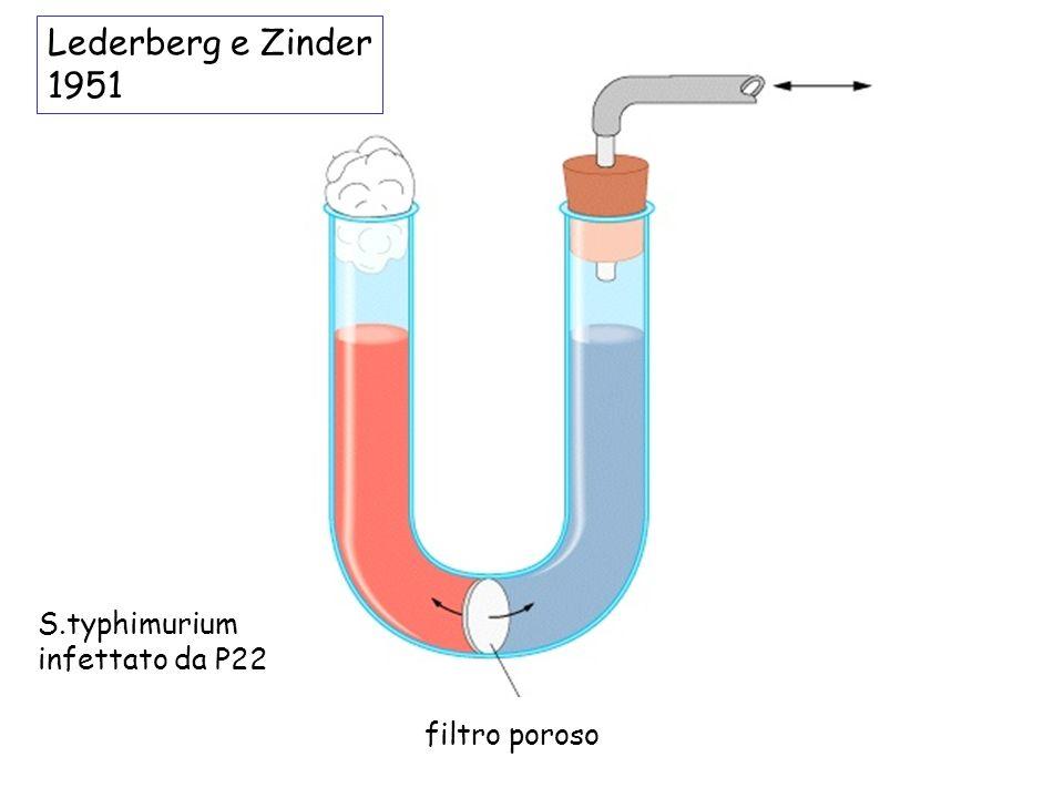 Lederberg e Zinder 1951 S.typhimurium infettato da P22 filtro poroso