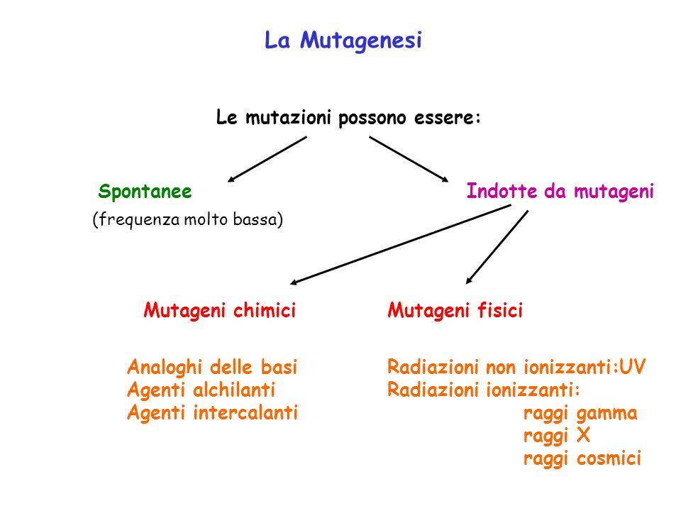 La Mutagenesi Le mutazioni possono essere: Spontanee