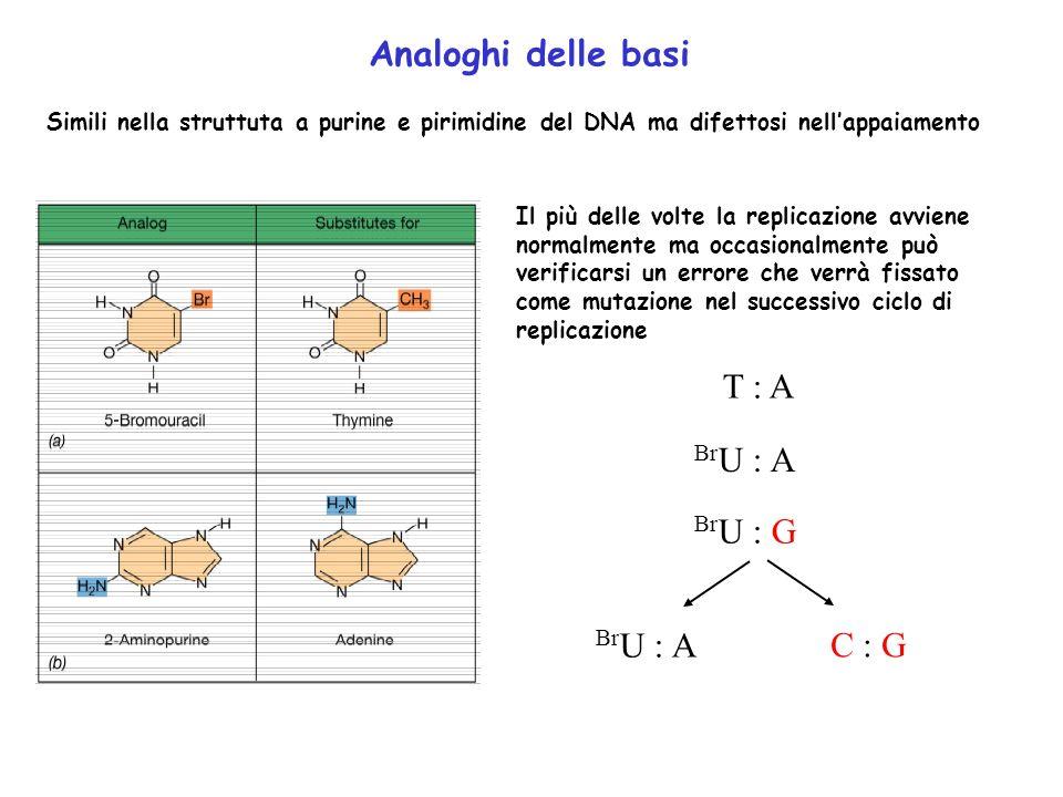 Analoghi delle basi T : A BrU : A BrU : G BrU : A C : G
