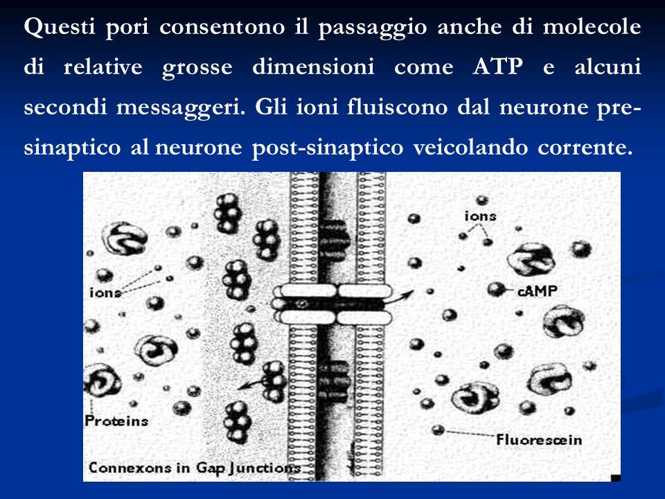 Questi pori consentono il passaggio anche di molecole di relative grosse dimensioni come ATP e alcuni secondi messaggeri.