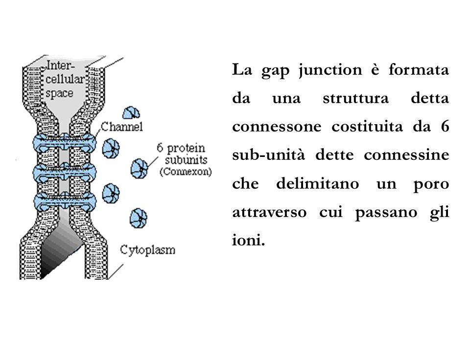 La gap junction è formata da una struttura detta connessone costituita da 6 sub-unità dette connessine che delimitano un poro attraverso cui passano gli ioni.