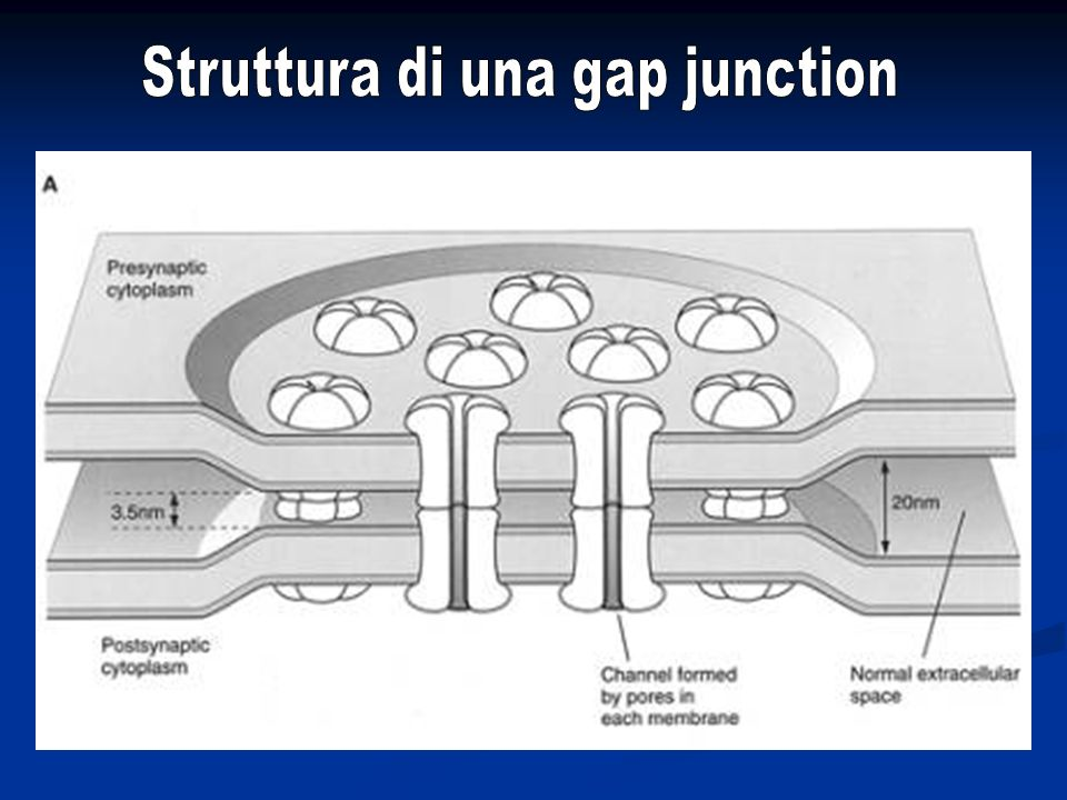 Struttura di una gap junction