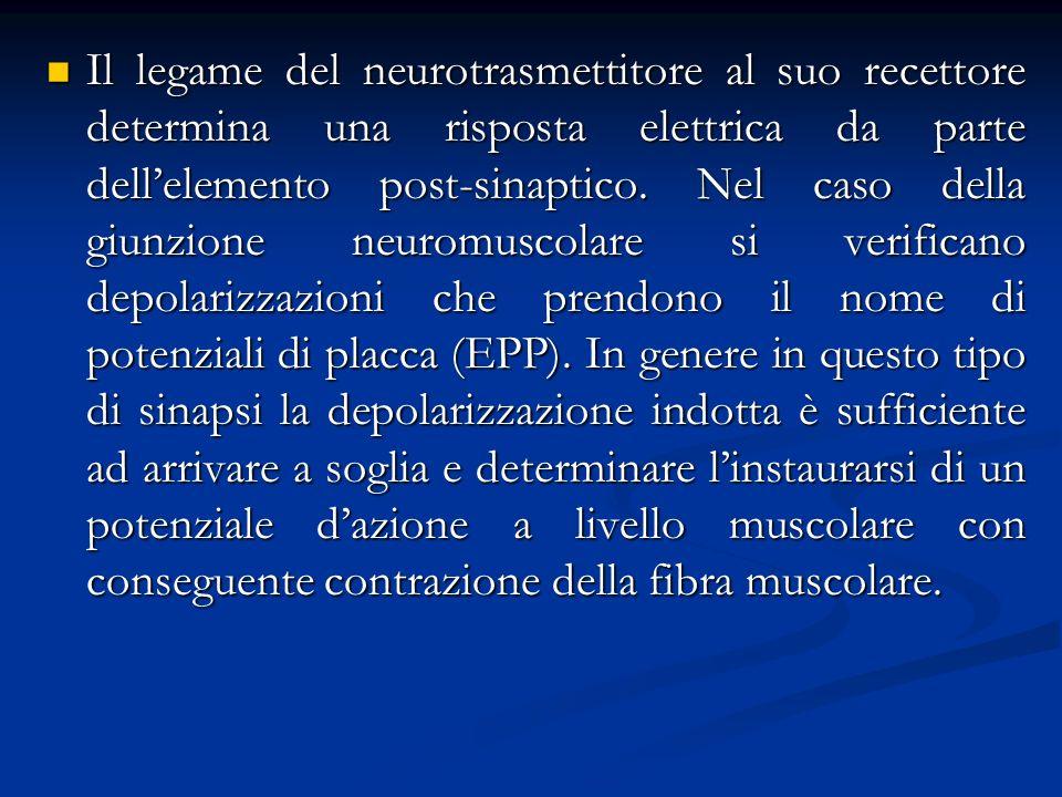 Il legame del neurotrasmettitore al suo recettore determina una risposta elettrica da parte dell'elemento post-sinaptico.