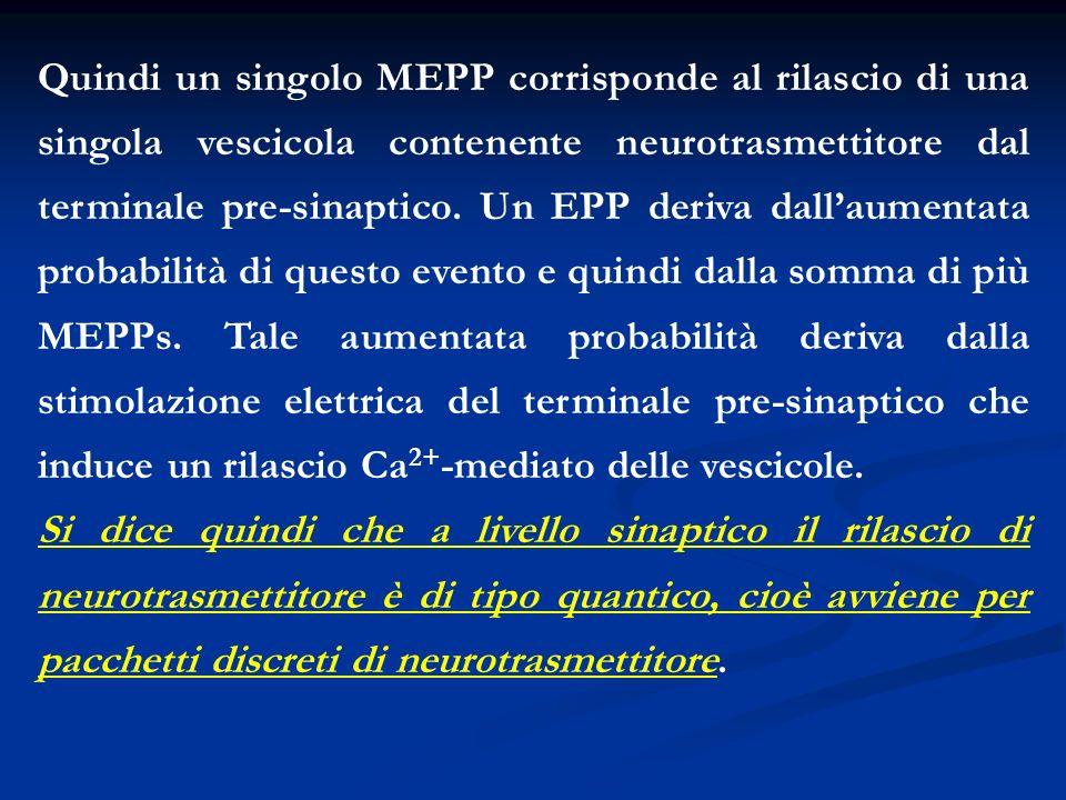 Quindi un singolo MEPP corrisponde al rilascio di una singola vescicola contenente neurotrasmettitore dal terminale pre-sinaptico. Un EPP deriva dall'aumentata probabilità di questo evento e quindi dalla somma di più MEPPs. Tale aumentata probabilità deriva dalla stimolazione elettrica del terminale pre-sinaptico che induce un rilascio Ca2+-mediato delle vescicole.