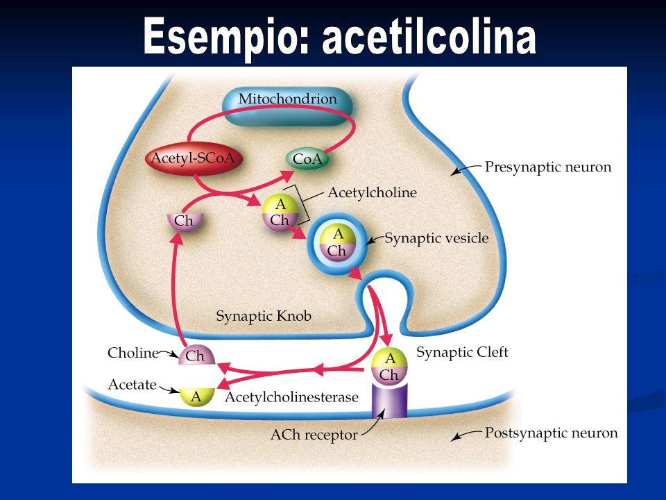 Esempio: acetilcolina