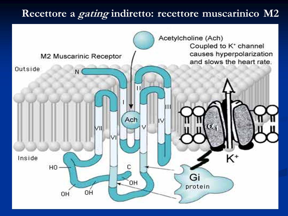 Recettore a gating indiretto: recettore muscarinico M2