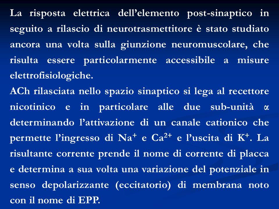 La risposta elettrica dell'elemento post-sinaptico in seguito a rilascio di neurotrasmettitore è stato studiato ancora una volta sulla giunzione neuromuscolare, che risulta essere particolarmente accessibile a misure elettrofisiologiche.