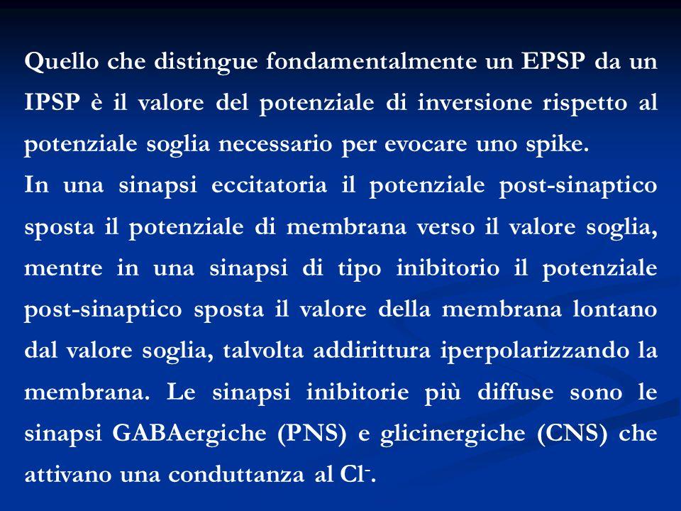 Quello che distingue fondamentalmente un EPSP da un IPSP è il valore del potenziale di inversione rispetto al potenziale soglia necessario per evocare uno spike.