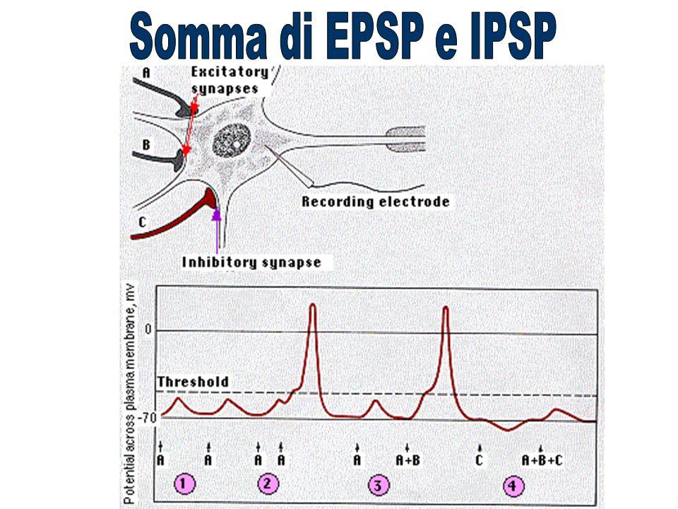 Somma di EPSP e IPSP