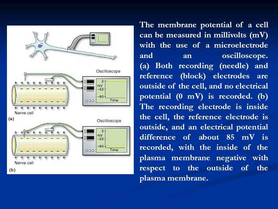 The membrane potential of a cell can be measured in millivolts (mV) with the use of a microelectrode and an oscilloscope.
