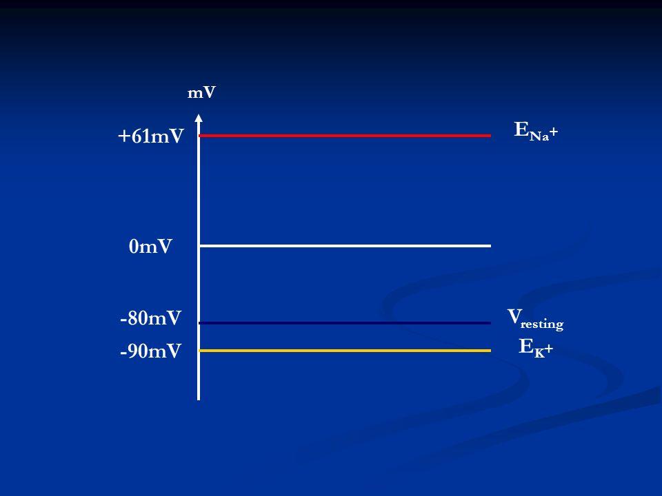 mV ENa+ +61mV 0mV -90mV -80mV EK+ Vresting
