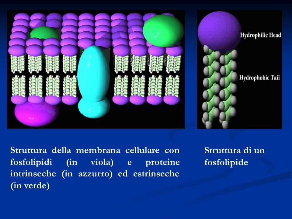 Struttura della membrana cellulare con fosfolipidi (in viola) e proteine intrinseche (in azzurro) ed estrinseche (in verde)