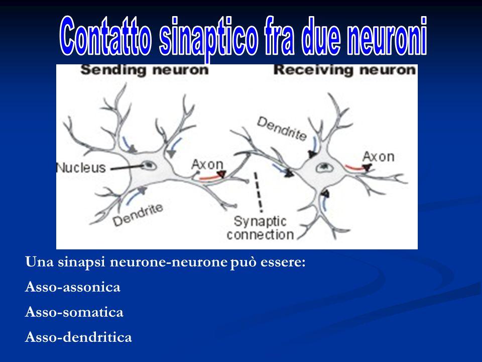 Contatto sinaptico fra due neuroni