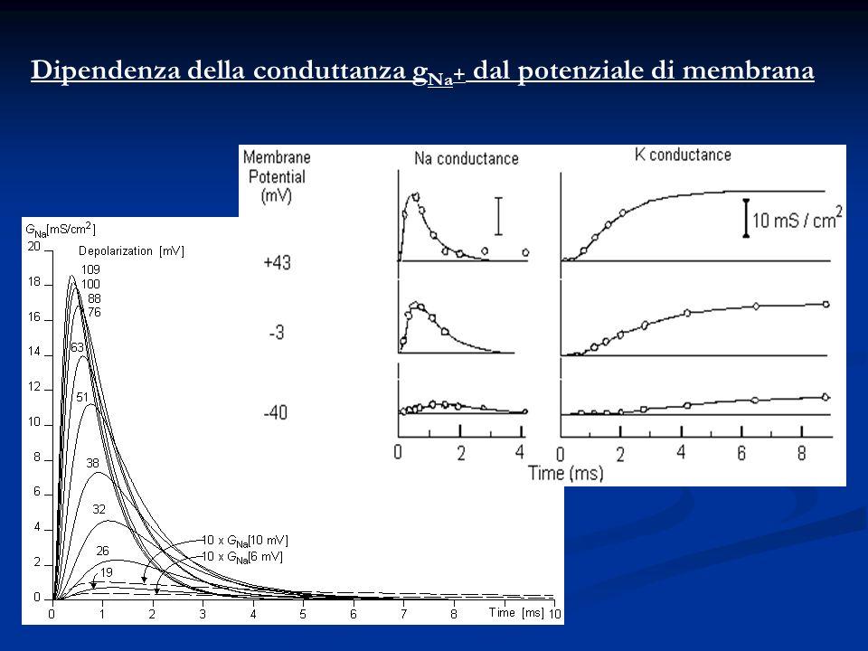 Dipendenza della conduttanza gNa+ dal potenziale di membrana