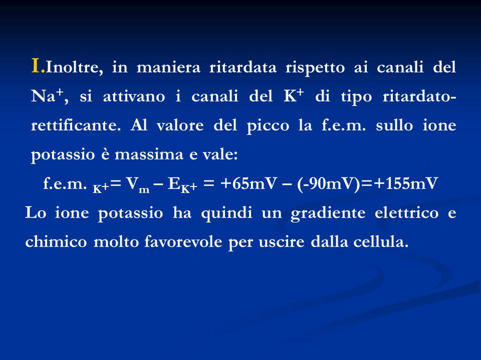 f.e.m. K+= Vm – EK+ = +65mV – (-90mV)=+155mV
