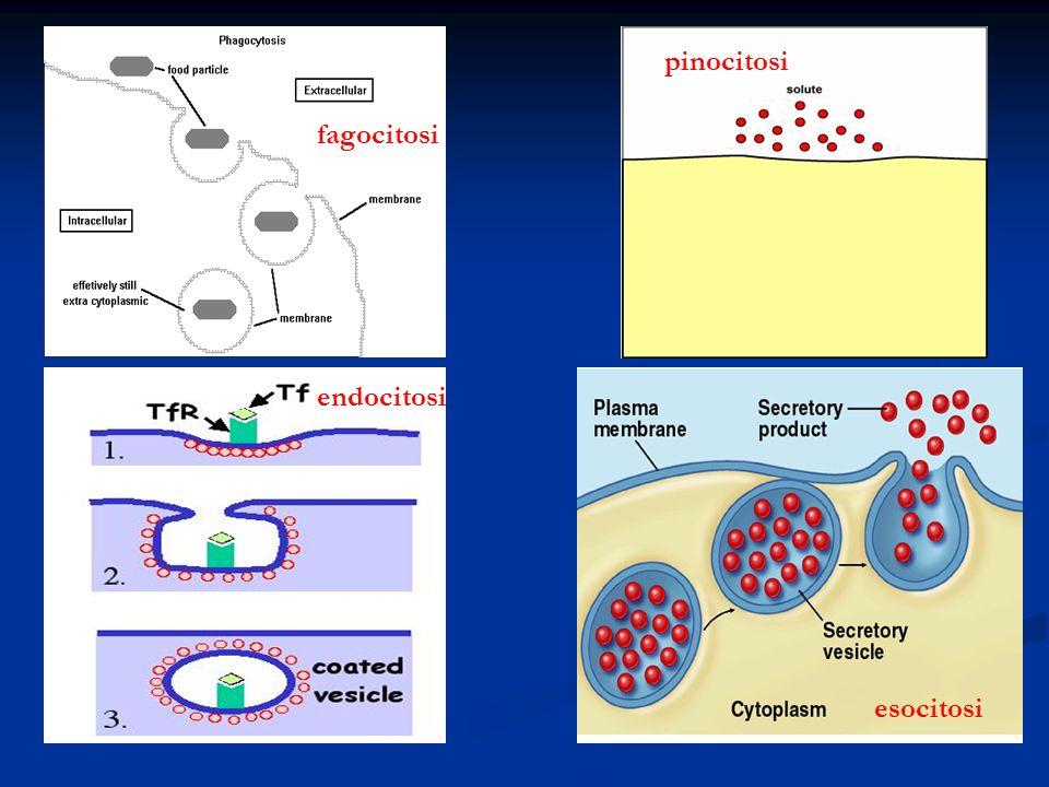 pinocitosi fagocitosi endocitosi esocitosi
