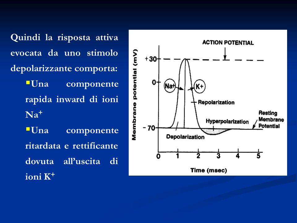 Quindi la risposta attiva evocata da uno stimolo depolarizzante comporta: