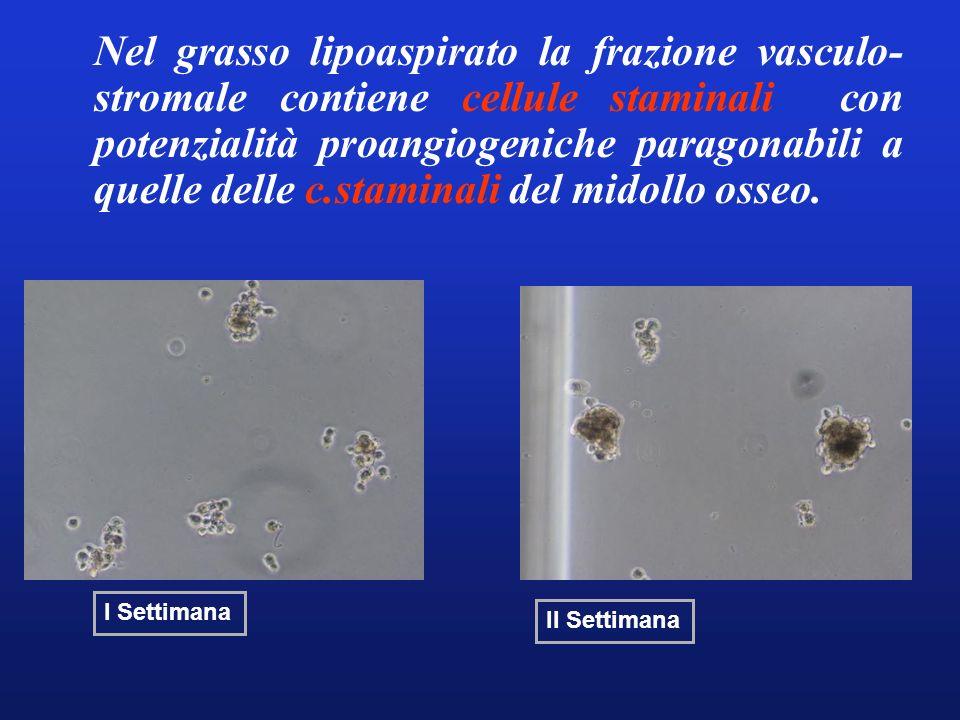 Nel grasso lipoaspirato la frazione vasculo-stromale contiene cellule staminali con potenzialità proangiogeniche paragonabili a quelle delle c.staminali del midollo osseo.