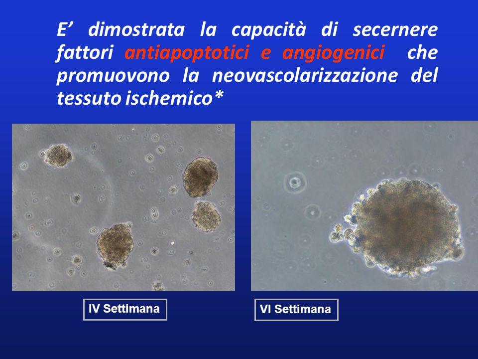 E' dimostrata la capacità di secernere fattori antiapoptotici e angiogenici che promuovono la neovascolarizzazione del tessuto ischemico*