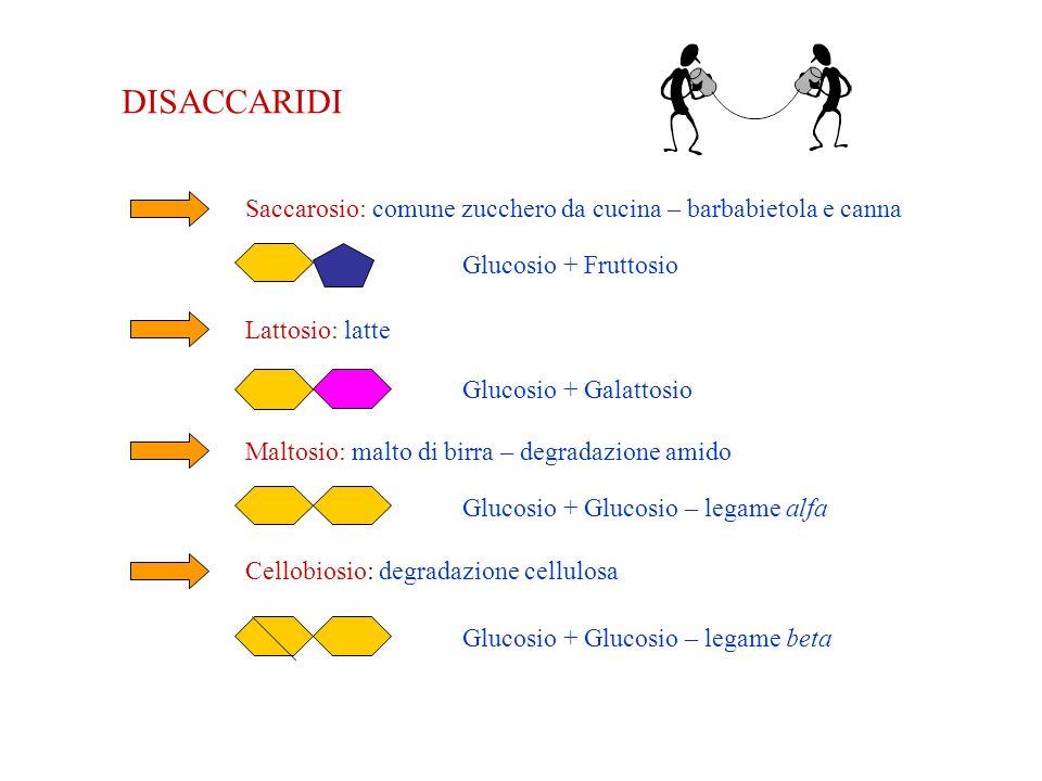 DISACCARIDI Saccarosio: comune zucchero da cucina – barbabietola e canna. Glucosio + Fruttosio. Lattosio: latte.