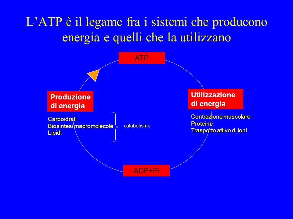 L'ATP è il legame fra i sistemi che producono energia e quelli che la utilizzano