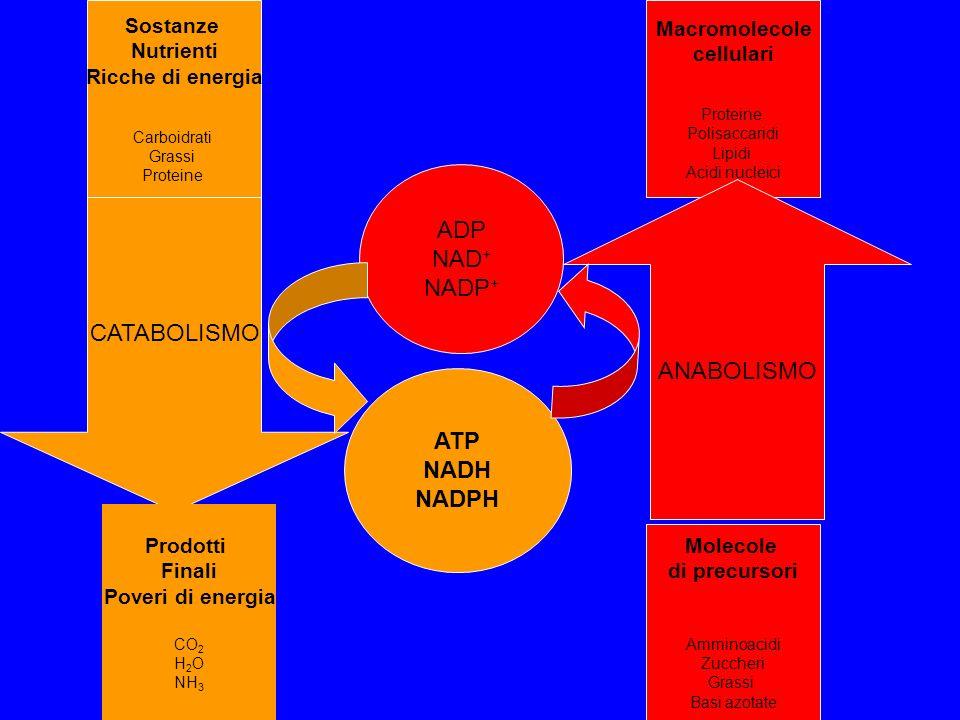 ADP NAD+ NADP+ CATABOLISMO ANABOLISMO ATP NADH NADPH Sostanze