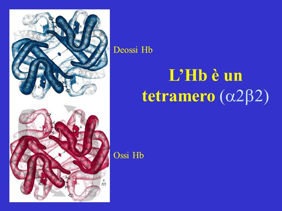 L'Hb è un tetramero 