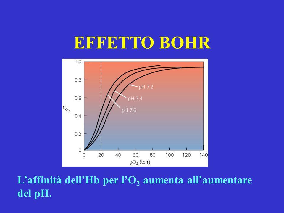 EFFETTO BOHR L'affinità dell'Hb per l'O2 aumenta all'aumentare del pH.