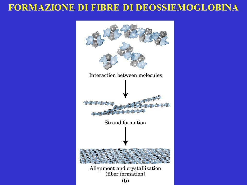 FORMAZIONE DI FIBRE DI DEOSSIEMOGLOBINA
