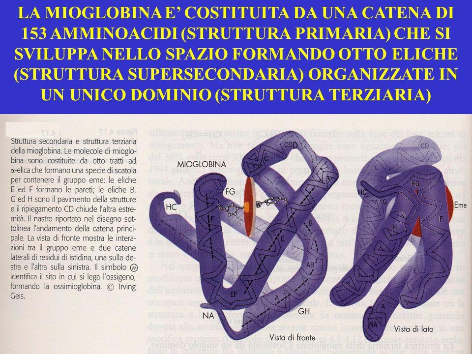LA MIOGLOBINA E' COSTITUITA DA UNA CATENA DI 153 AMMINOACIDI (STRUTTURA PRIMARIA) CHE SI SVILUPPA NELLO SPAZIO FORMANDO OTTO ELICHE (STRUTTURA SUPERSECONDARIA) ORGANIZZATE IN UN UNICO DOMINIO (STRUTTURA TERZIARIA)