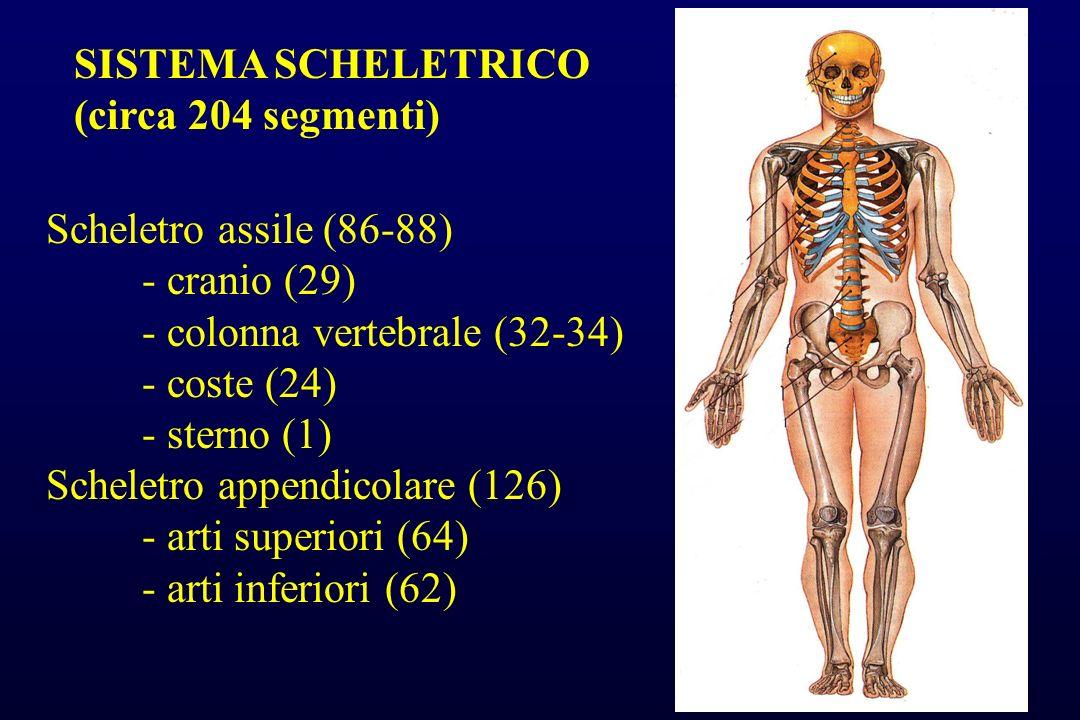 SISTEMA SCHELETRICO (circa 204 segmenti) Scheletro assile (86-88) - cranio (29) - colonna vertebrale (32-34)
