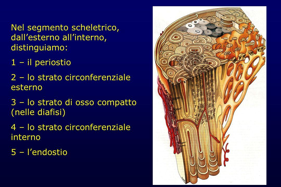 Nel segmento scheletrico, dall'esterno all'interno, distinguiamo: