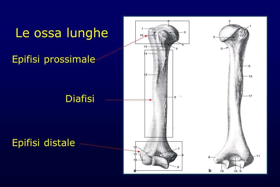 Le ossa lunghe Epifisi prossimale Diafisi Epifisi distale