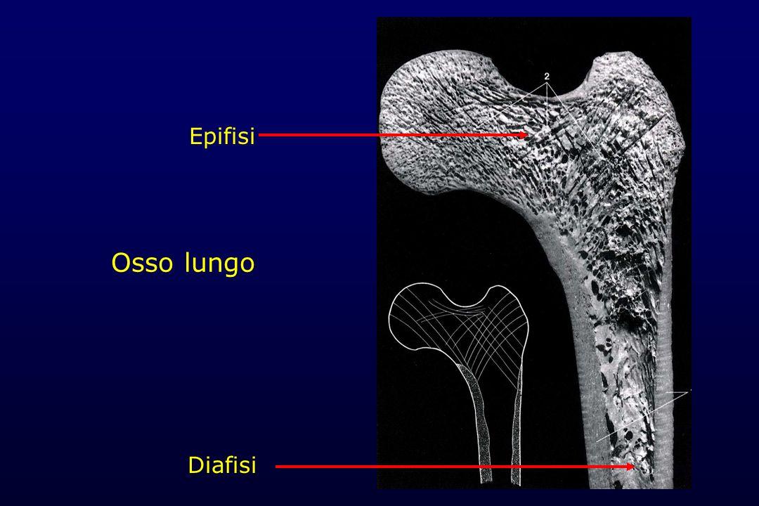 Epifisi Osso lungo Diafisi