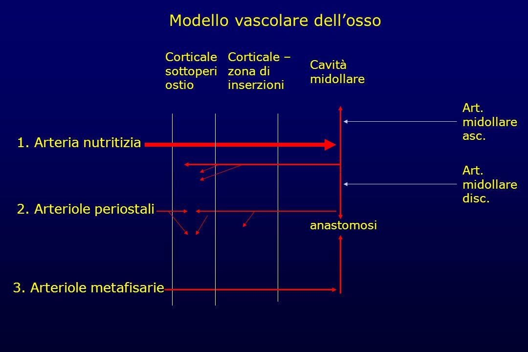 Modello vascolare dell'osso