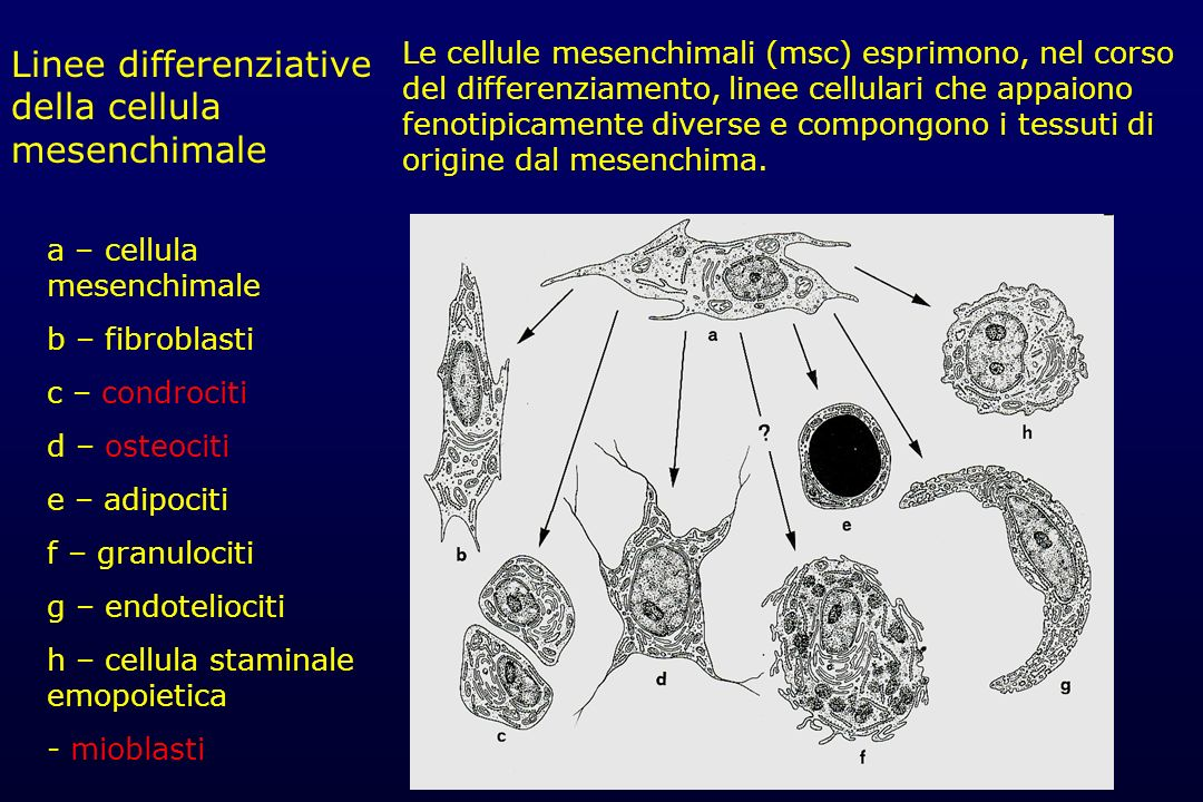 Linee differenziative della cellula mesenchimale
