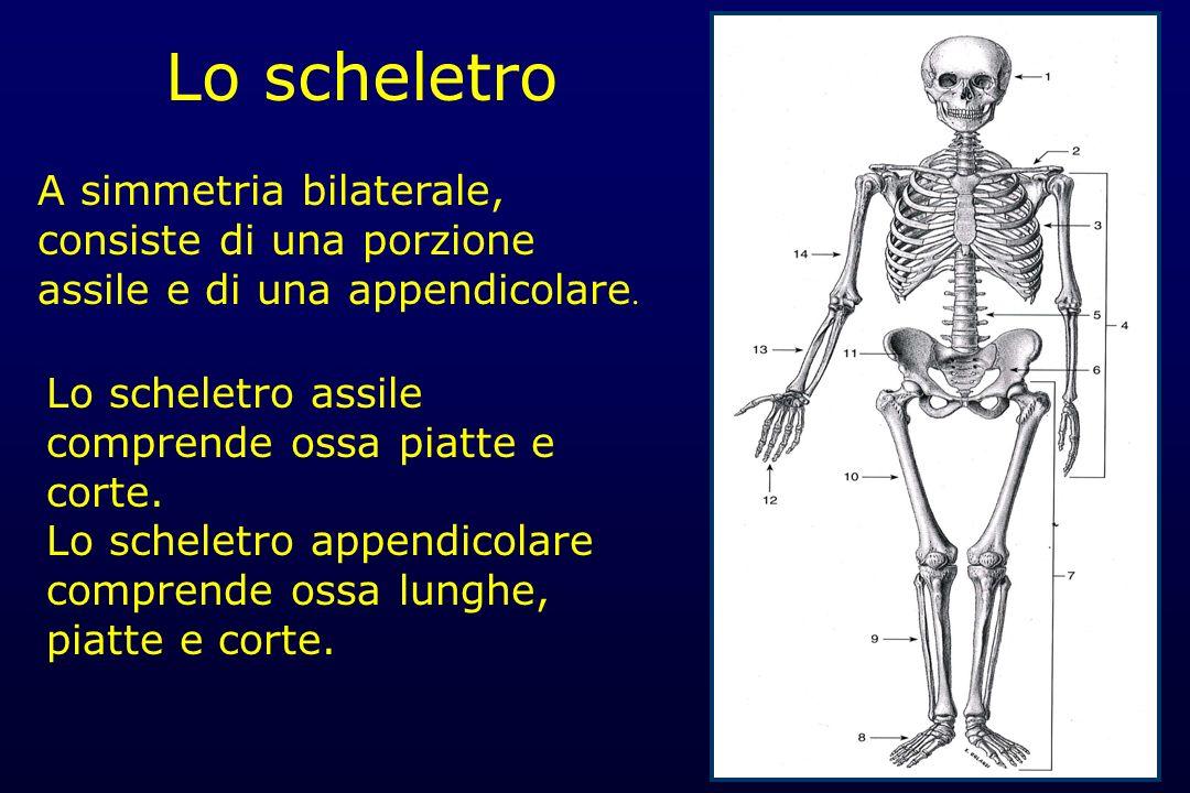 Lo scheletro A simmetria bilaterale, consiste di una porzione